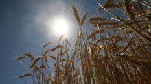 Tiempo de definiciones para el trigo