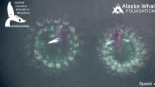 'Groundbreaking' New Footage Provides a Mesmerizing Look at Whale Bubble-Net Feeding