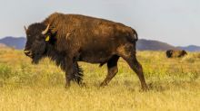 Mexico ranch helps American bison make a comeback