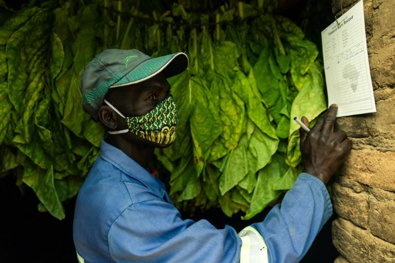 Tobacco is the second biggest foreign currency earner in Zimbabwe after gold (AFP Photo/Jekesai NJIKIZANA)