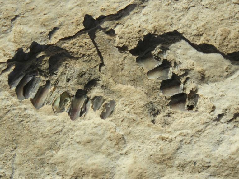 This handout photo shows animal fossils eroding out of the surface of the Alathar ancient lake deposit