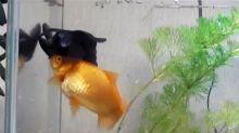 Este pez salva a su mejor amigo y se vuelve viral