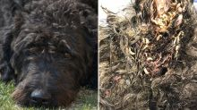 Maggots found in dog's ears and mouth after being neglected by owner