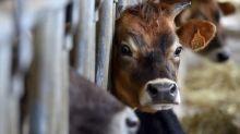 Un veau retrouvé mort avec l'oreille mutilée en Corrèze