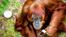 The world's oldest orangutan couldn't care less about her record