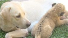 Lion cub raised by dog as her own after cub's mother rejects it