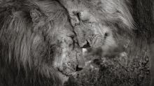 Wildlife photographer of the year: Nuzzling lions take pride of place in international competition
