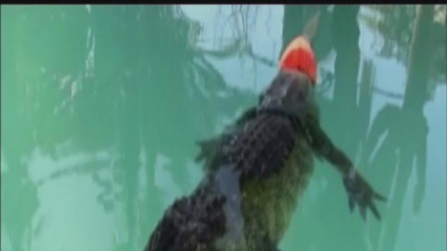 Gator gets prosthetic tail