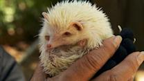Are Hedgehogs America's Hottest New Pet?