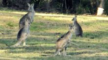 Hunt for 'cruel' shooter after kangaroo found with arrow in back