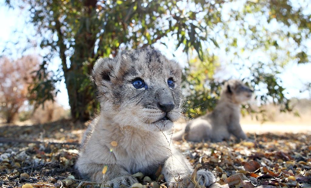 Conceived through artificial insemination in a world first, the two lion cubs were born on August 25 (AFP Photo/Phill Magakoe)
