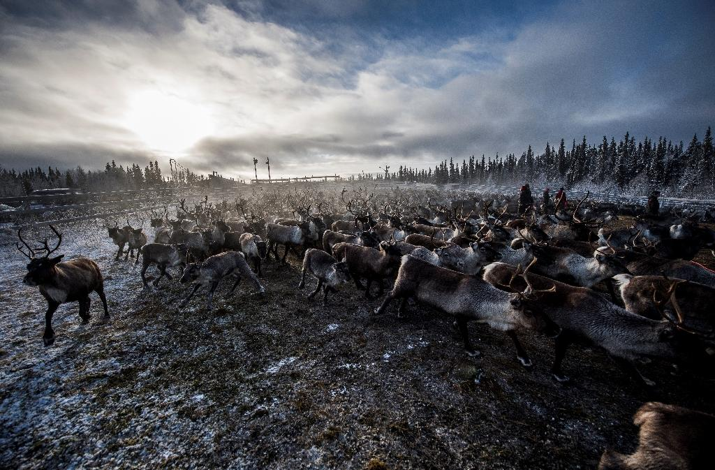 Sami people from the Vilhelmina Norra Sameby, gather their reindeer herd for selection and calf labelling near the village of Dikanaess, Sweden (AFP Photo/Jonathan Nackstrand)