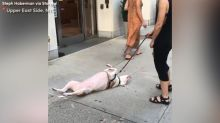 Stubborn dog stops walk, lies belly up on NYC sidewalk, refuses to move