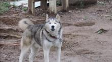 Incredible transformation of husky rescued from certain death