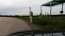 Herd of giraffes and rhinos stroll past stopped car on safari