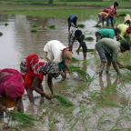 Locked-down India rice rates hit 3-month low; Thai prices off 6-1/2-year