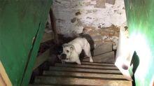 Compró una casa y encontró a un pobre perro atado en el sótano