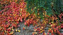 Don't bother with a living wall – plant some ivy