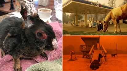Rabbit, horses, llamas suffer in California wildfires