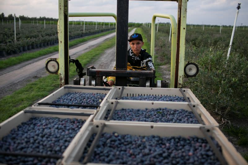 A Mexican migrant worker drives a lift truck carrying trays filled with blueberries during a harvest at a farm in Lake Wales