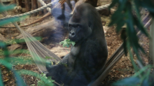 London Zoo gorilla Kumbuka drank five LITRES of undiluted blackcurrant squash during hour of freedom