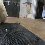 Polar bear gets weighed