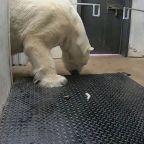 Polar bear gets weighed