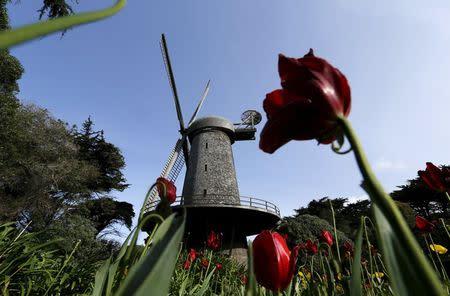 Tulips grow in Queen Wilhelmina's Tulip Garden in Golden Gate Park in San Francisco, California April 6, 2015. REUTERS/Robert Galbraith