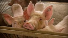 African swine fever creates an opportunity for U.S. farmers