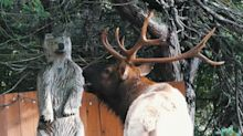 Noisy elk makes his feelings known about wooden bear statue