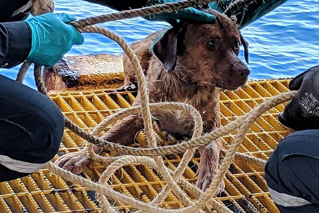 The tan-coloured dog was fished from the ocean by rig workers who spotted his head bobbing between the waves in the Gulf of Thailand (AFP Photo/Handout)