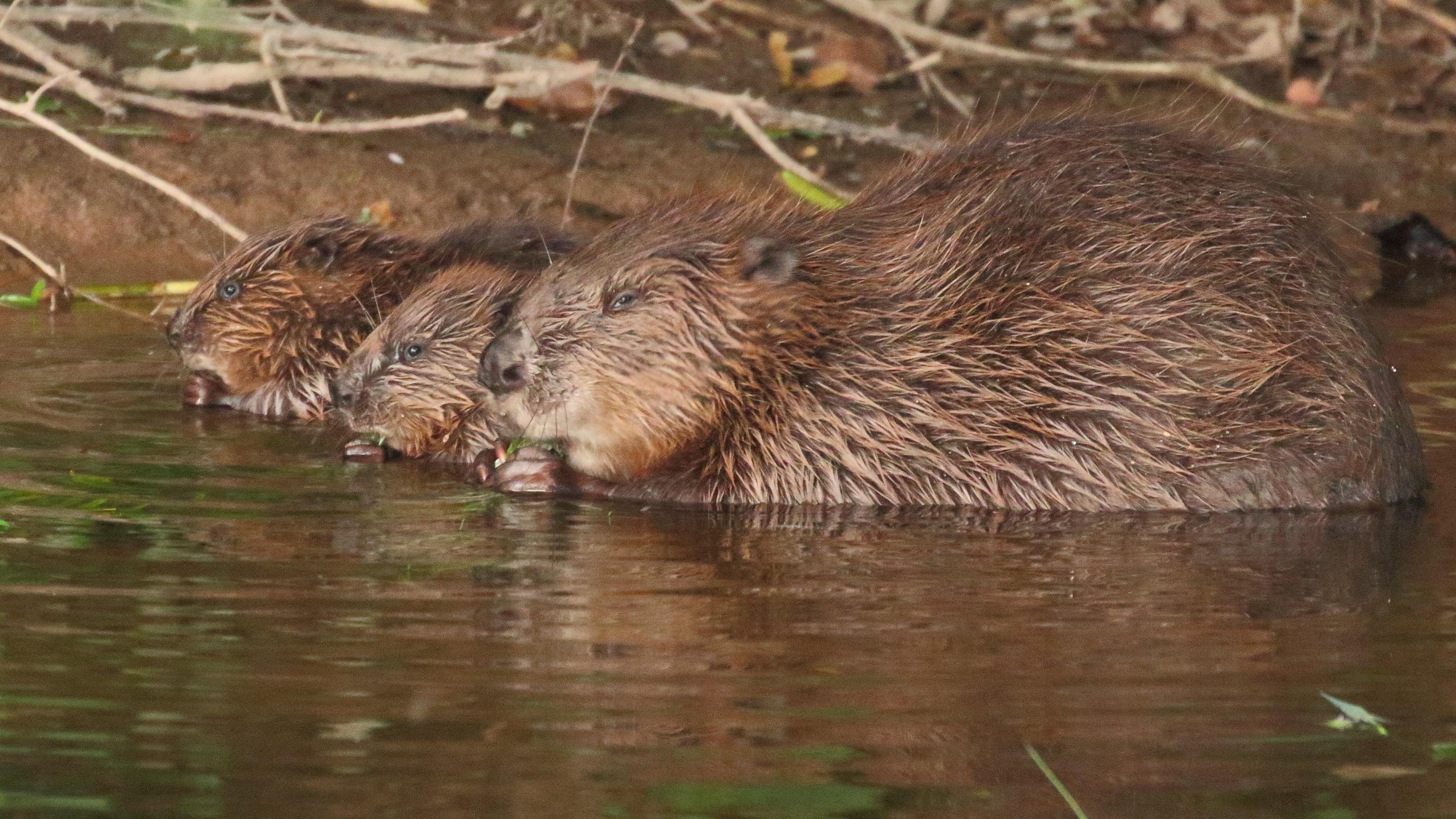 Beavers set to make a splash with reintroductions at National Trust sites