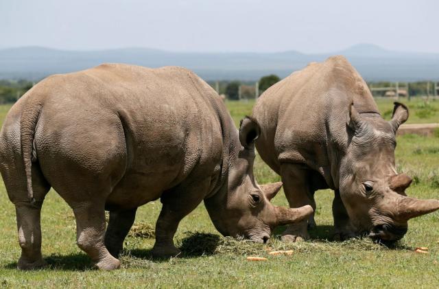 Lab-made embryos may save near-extinct rhino species