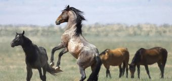Federally protected wild horses are going to slaughter