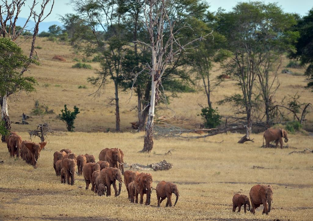 Normally elephants forage for food and migrate in daylight, while resting under cover of darkness