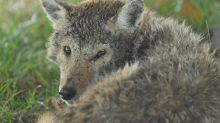Are coyotes roaming your Kansas City area neighborhood? Here are tips to stay safe