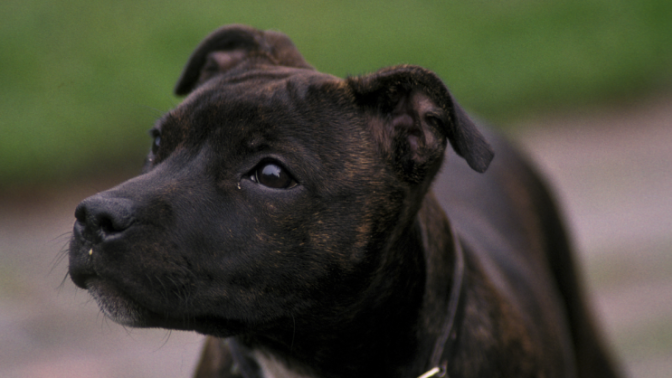 Dog owner fatally mauled by Staffordshire bull terrier while interviewed for documentary