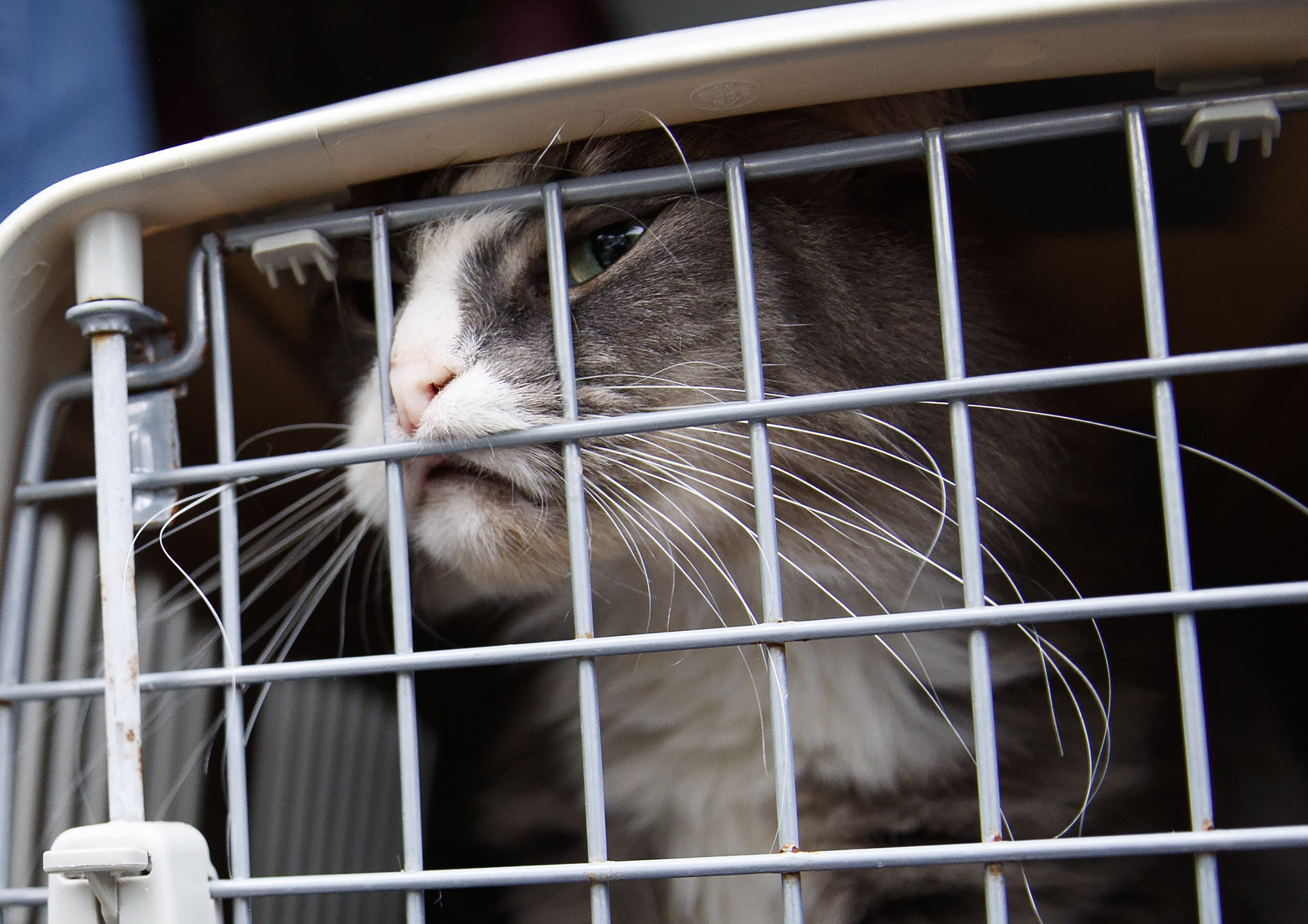 A long-haired tabby cat pushes against the crate door during the unloading of 26 cats and dogs from a van at Humane Rescue Alliance in Washington, Tuesday, Sept. 11, 2018, from Norfolk Animal Care and Control of Norfolk, Va., in advance of Hurricane Florence. People aren't the only ones evacuating to get out of the path of Hurricane Florence. The dogs and cats will all be available for adoption. (AP Photo/Carolyn Kaster)