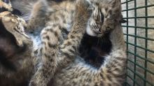 'Hello kitties' turns to 'beware bobcats' in Texas