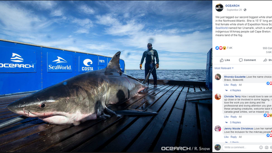 A 15-foot, 2,000-pound great white shark tracked off the Keys. She's come a long way.
