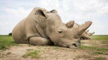 'Corno cura il Covid', rinoceronti in pericolo: nuovo allarme