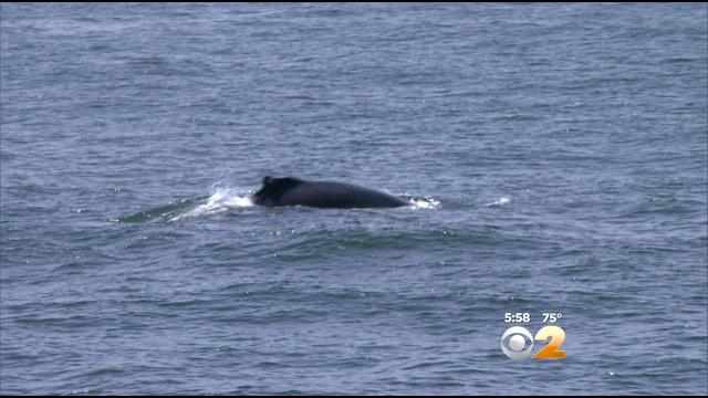 CBS 2 Exclusive: Local Whale Watching