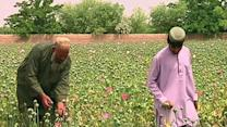 Afghanistan Seeing Bumper Crop in Opium