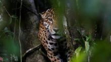 Fogo no Pantanal ameaça área de onças-pintadas e causa morte de zootecnista em MT
