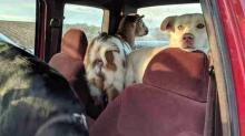 Perro huye de casa y lo encuentran ¡con una cabra!