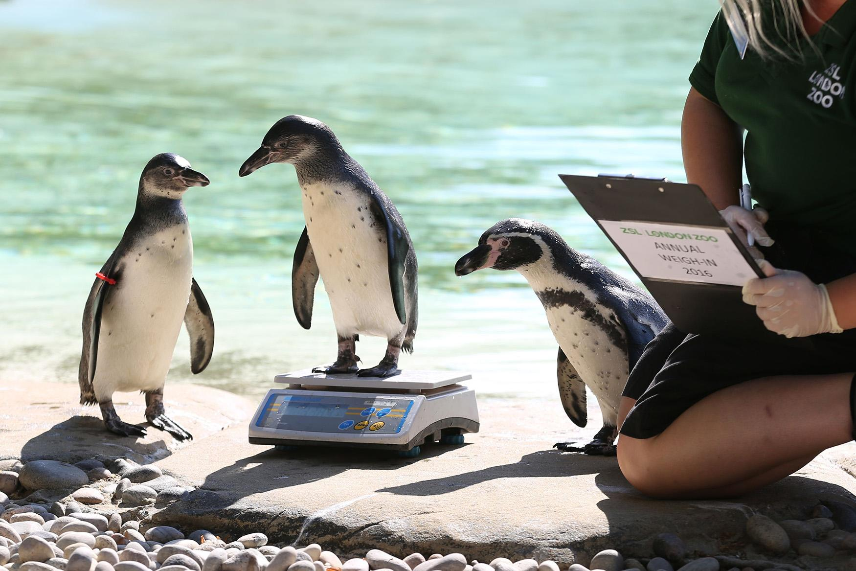 <p>Penguin chick Bracchino is weighed by a zookeeper, during the annual weigh-in at London Zoo, England, Wednesday, Aug. 24, 2016. Home to more than 700 different species, zookeepers regularly record the heights and weights of all the creatures at ZSL London Zoo as a key way of monitoring the residents' overall wellbeing. This important information is shared with zoos around the world using ZIMS - the Zoological Information Management System - to help zoologists compare details on thousands of endangered species. (Photo: Laura Dale/AP) </p>