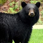Black bear shows 'powerful exit strategy' when confronted by a grizzly