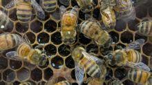 Justiça francesa suspende venda de dois pesticidas por danos às abelhas