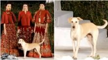 Watch: Street dog hogs the limelight at Rohit Bal's fashion show