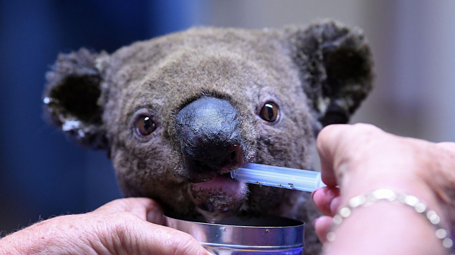 Terrified koalas injured and killed in wildfires